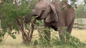 elephant into the wild